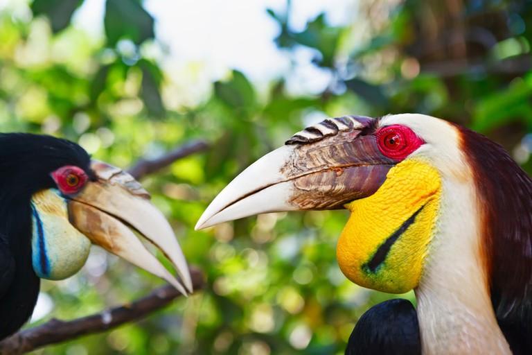 Southeast Asian bar-pouched wreathed hornbills | © Tropical studio/Shutterstock