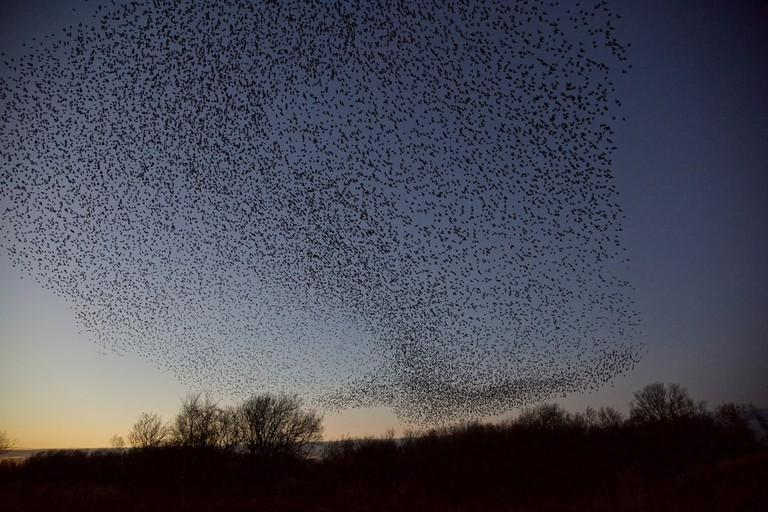 Murmuration of Starlings | © Paul Watts/Shutterstock