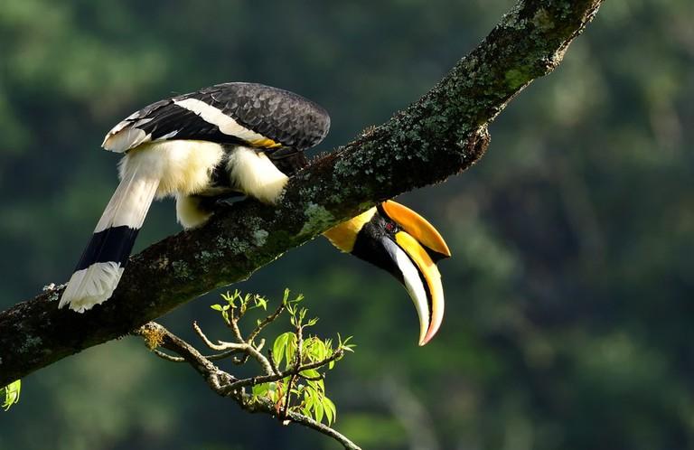 Great Indian Hornbill | © faisal magnet/Shutterstock