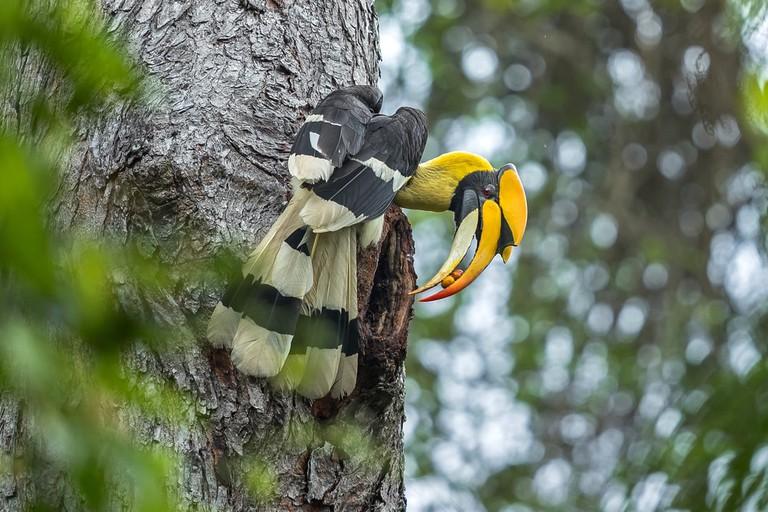 Great Hornbill, Thailand | © Red ivory/Shutterstock