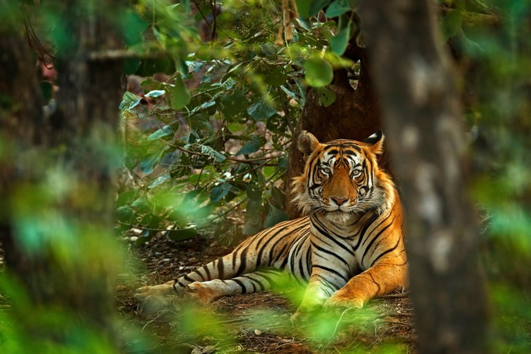 Indian tiger, Ranthambore, India