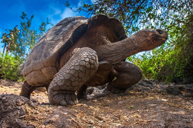 Galapagos tortoise, Galapagos Islands, Ecuador