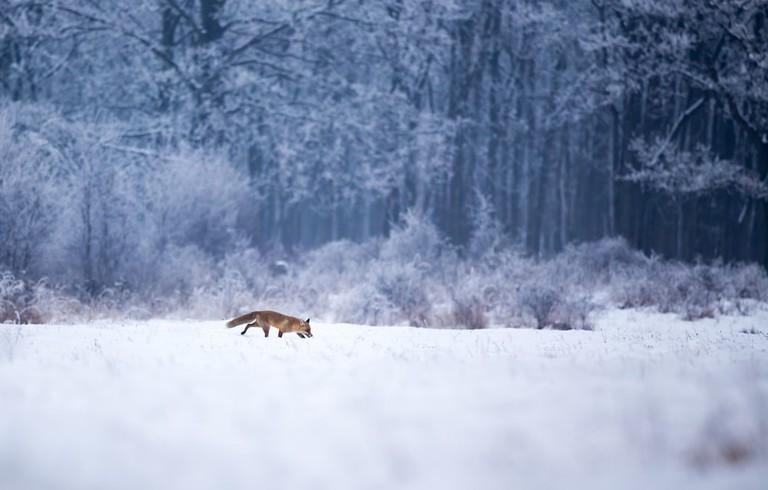 A red fox, stalking its way through the winter wonderland