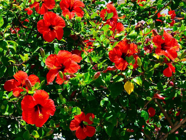 Hibiscus 11 Facts About Malaysias National Flower
