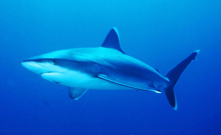 Silvertip shark in the Coral Sea | © Chewb62/Wikimedia Commons