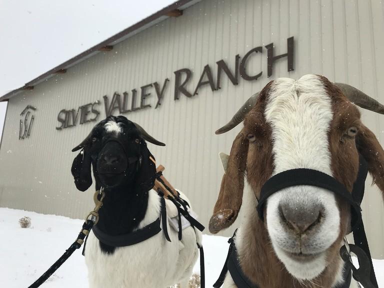 silvies-valley-ranch-goat-caddies-1