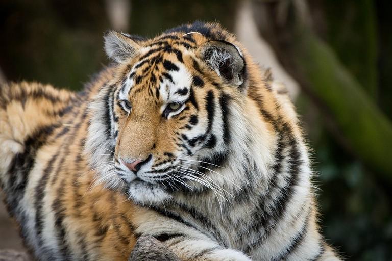 tiger-2896411_960_720