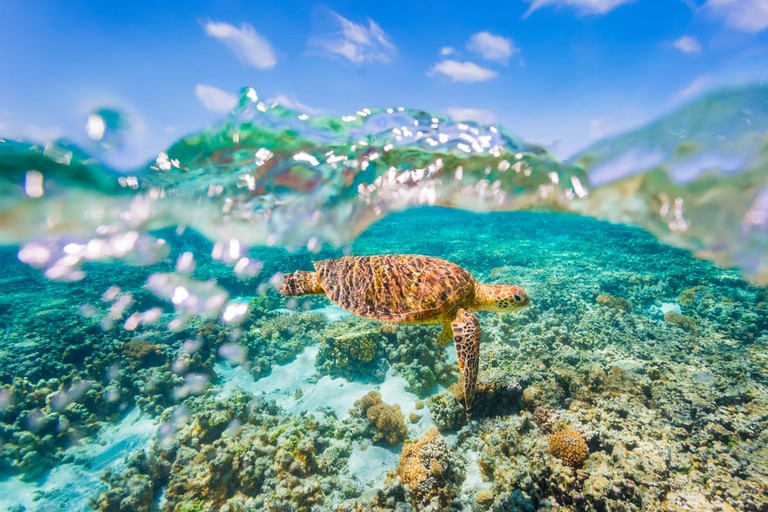 A Green Sea Turtle swimming over shallow reef