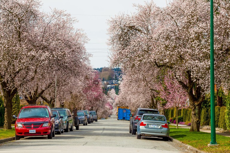 Vancouver_Spring_Cherry_Blossoms_W_22nd