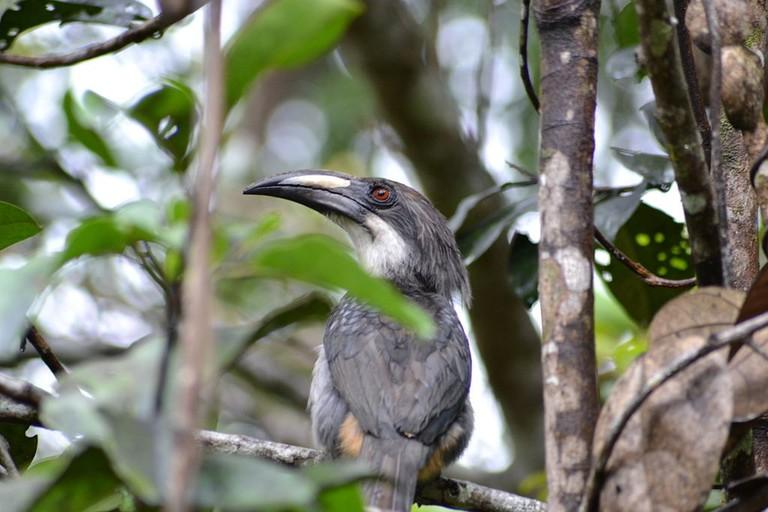 1024px-Sri_Lanka_Grey_Hornbill