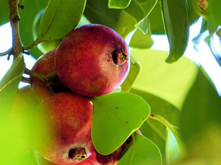 Strawberry Guava | © Jim Brennan/Flickr