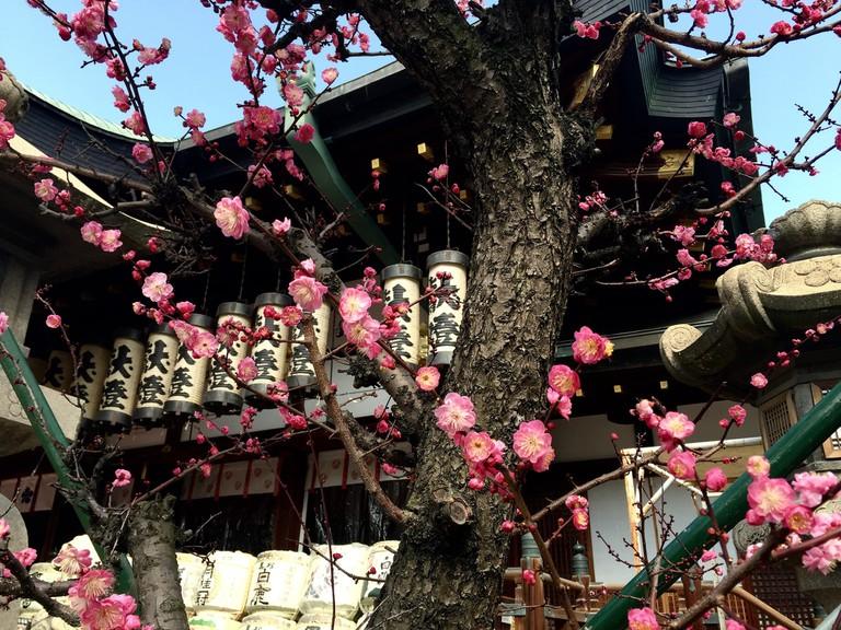 plum_flower_tenmangu_osaka_japan