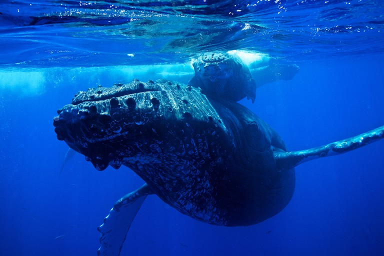 Humpback whale and calf | © M Cheng/Flickr