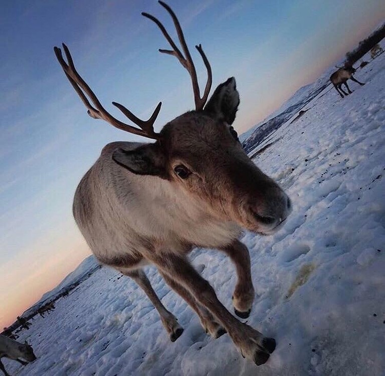 A curious reindeer