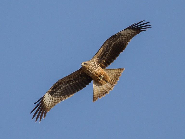 Black Kite Hong Kong Eagle