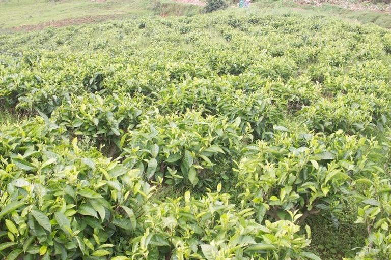 burundi-tea-plantation-3