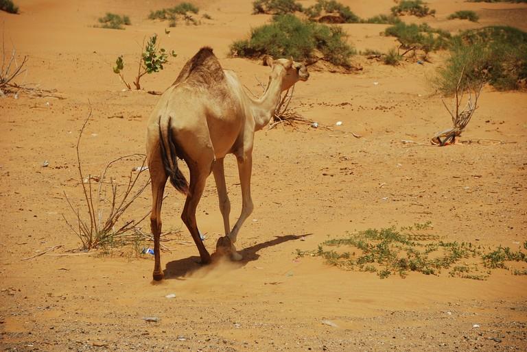 camels-1124138_1920