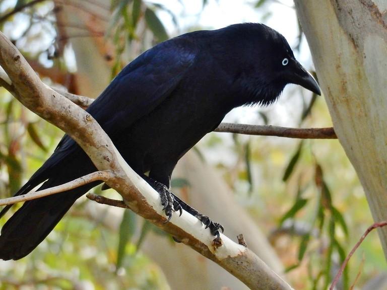 Crow © Michael Coghlan / Flickr