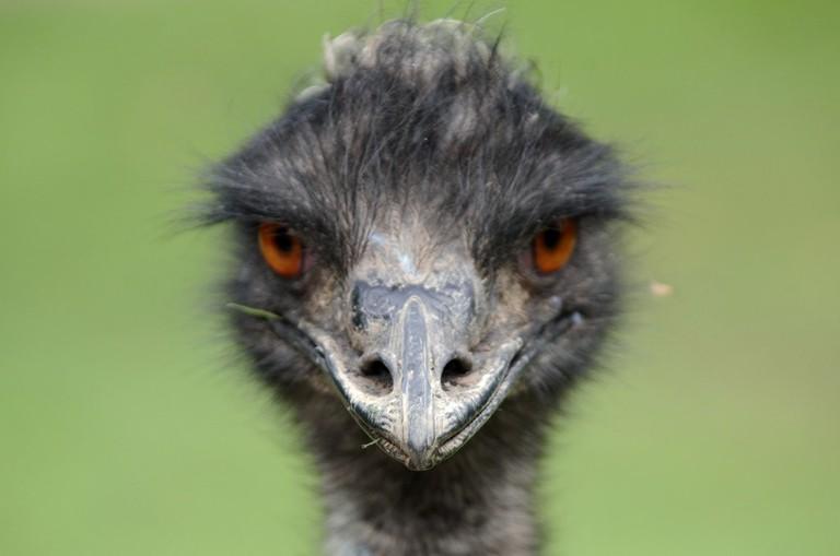 Emu © Kiwi Flickr / Flickr