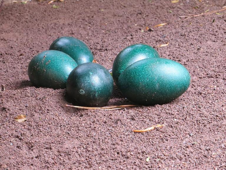 Emu eggs © Becks / Flickr