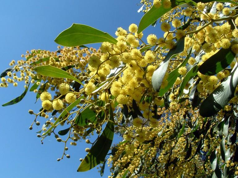 Golden wattle © Bidgee / Wikimedia Commons