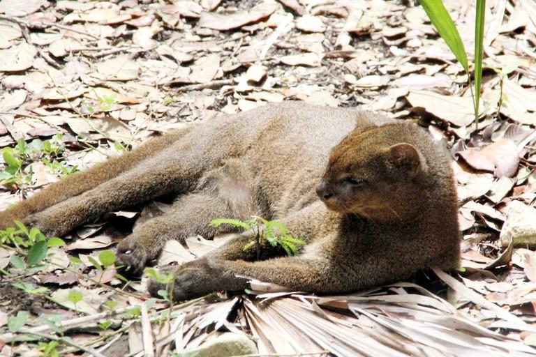 Jaguarundi in Costa Rica