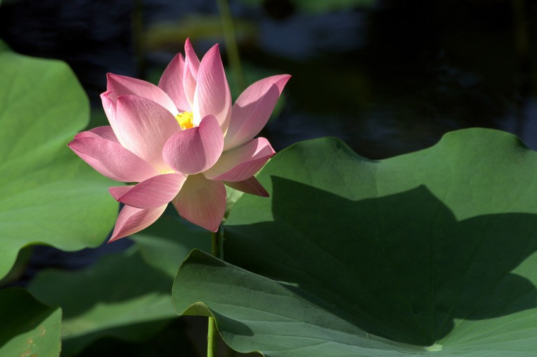 lotus-3207695_1920