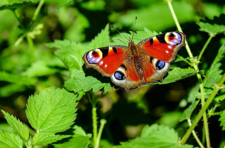peacock-butterfly-1655724_1920