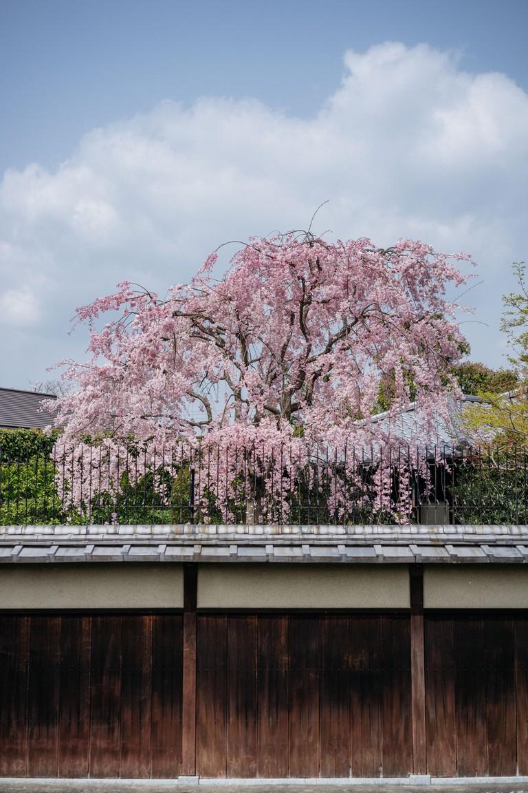 CHERRY BLOSSOM-KYOTO-JAPAN
