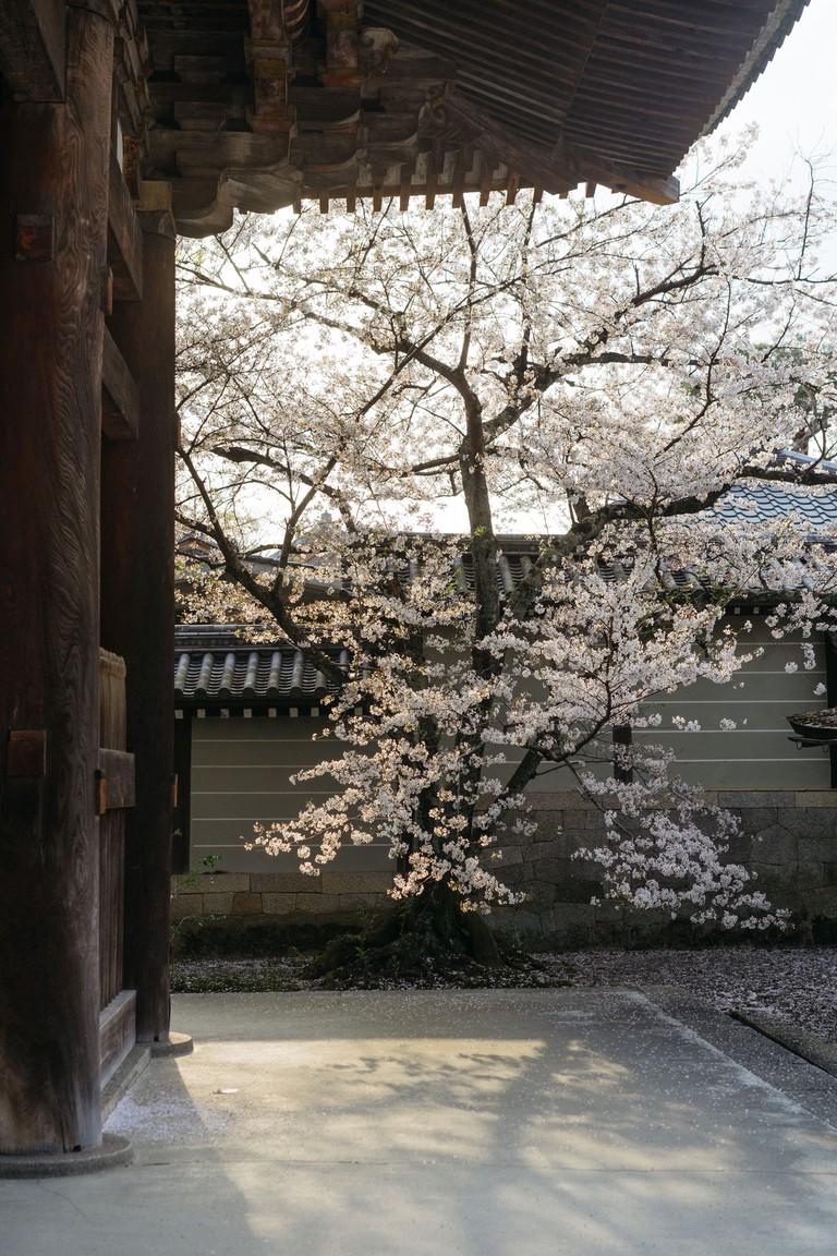 CHERRY BLOSSOM-NINNAJI TEMPLE-KYOTO-JAPAN