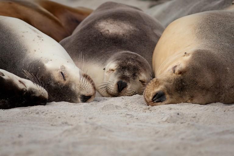 Sea lions on Kangaroo Island © Domenico Salvagnin / Flickr