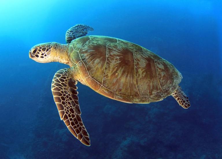 Green Turtle | © worldswildlifewonders/Shutterstock