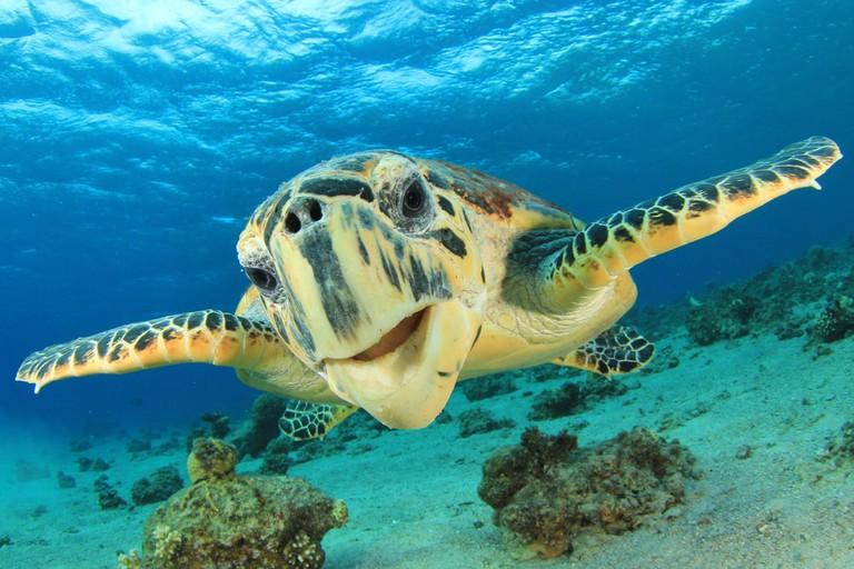 Hawksbill Sea Turtle | © Rich Carey/Shutterstock