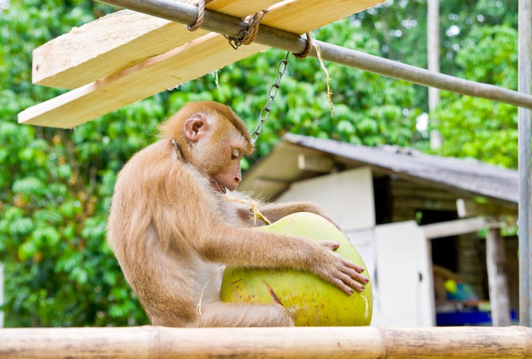 Monkey was trained to climb coconut trees