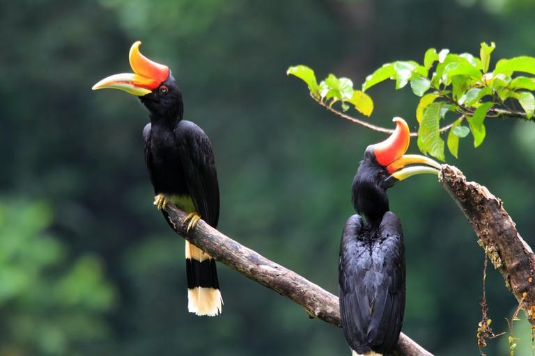 Rhinoceros Hornbill   © feathercollector/Shutterstock