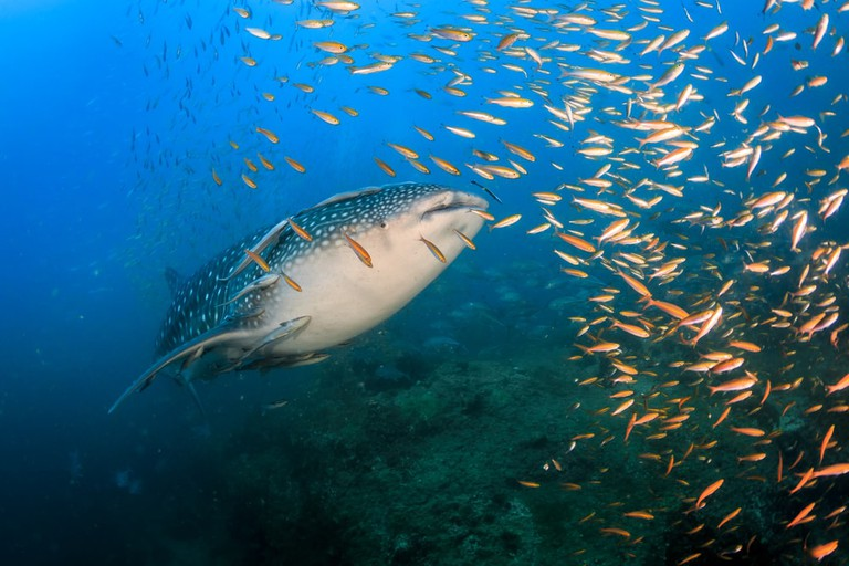 Young whale shark, Sail rock, Thailand