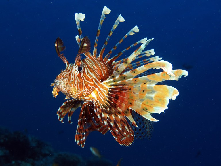 Common lionfish | © Laura Dinraths/Shutterstock