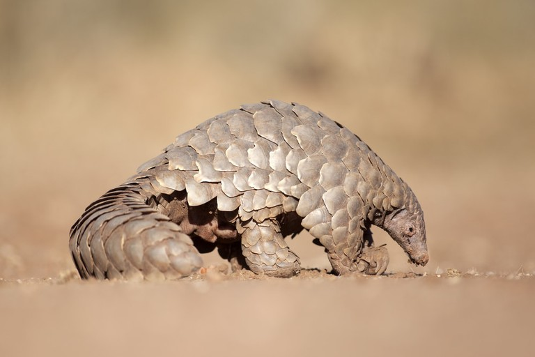 A pangolin searches for ants
