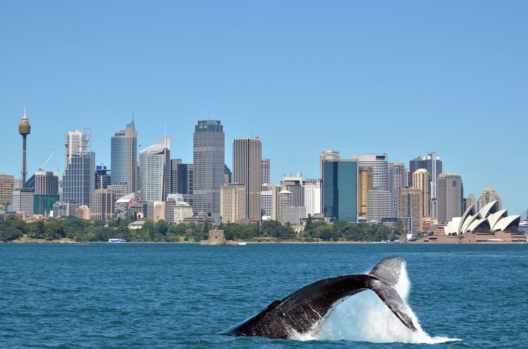 The tail of a Humpback Whale, Sydney | © ChameleonsEye/Shutterstock