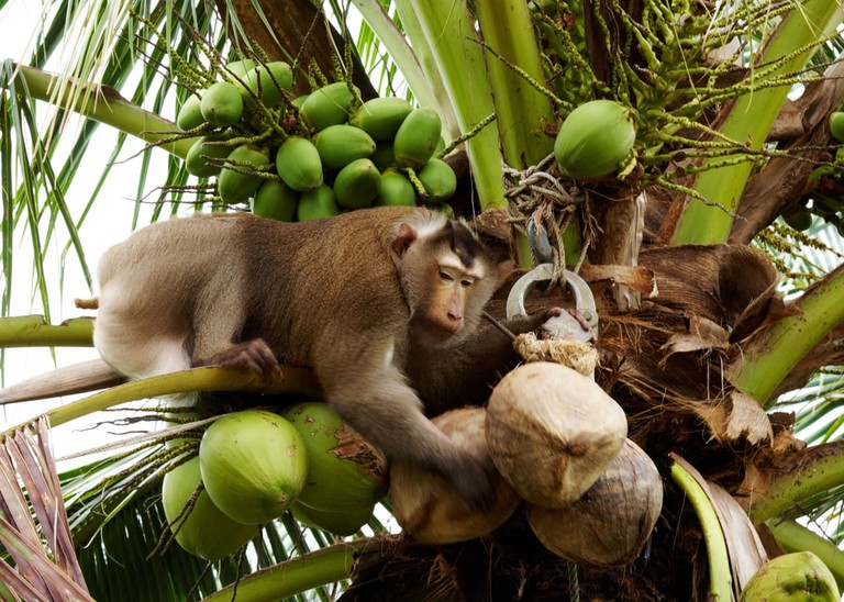 Monkey pick up a Coconut nut from a palm tree