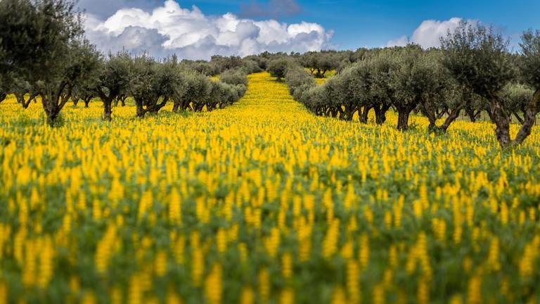 Lupine flowers, Alentejo, Portugal