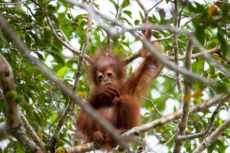 Baby Orang Utan in Borneo