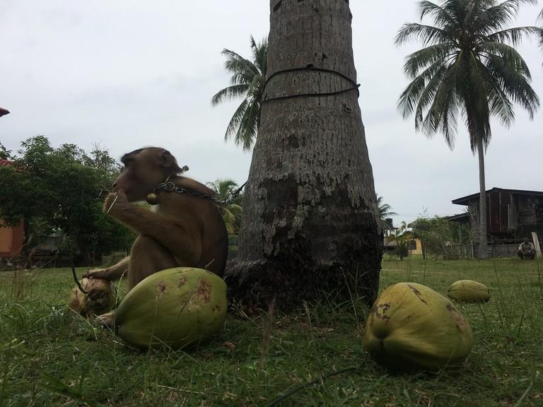 Monkey under coconut tree