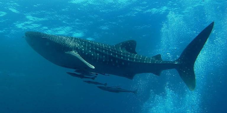 Similan_Dive_Center_-_great_whale_shark