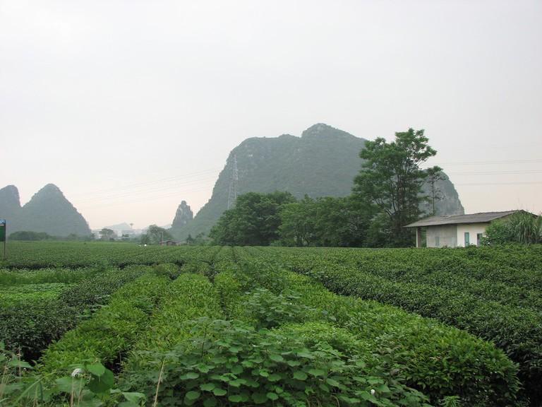 Tea Fields   © Sodai Gomi / Flickr