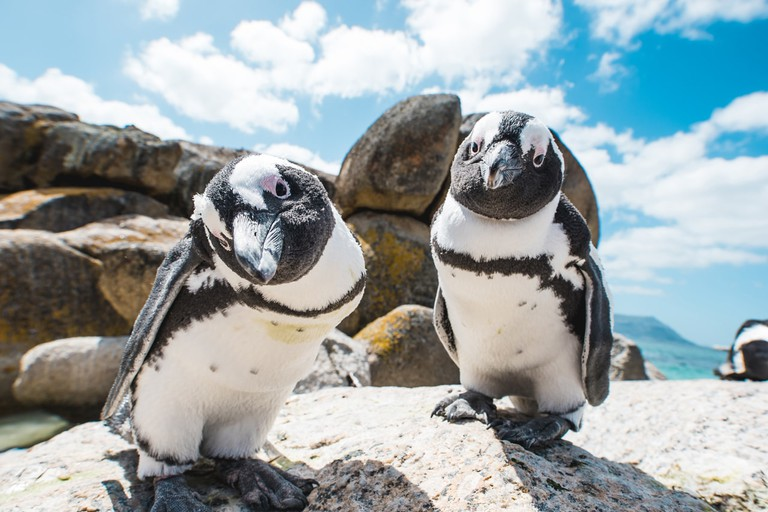 Two penguins looking into the camera