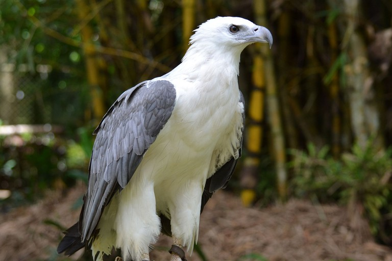White-bellied Sea Eagle Hong Kong