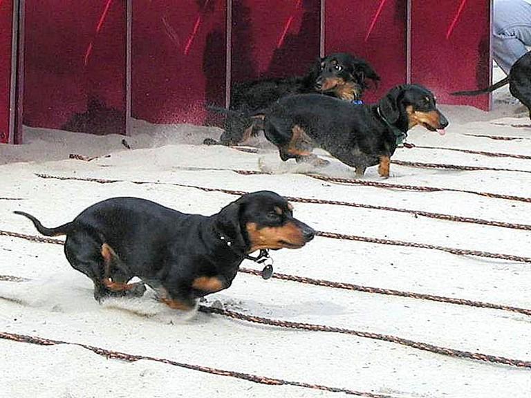 Wiener_dogs_races