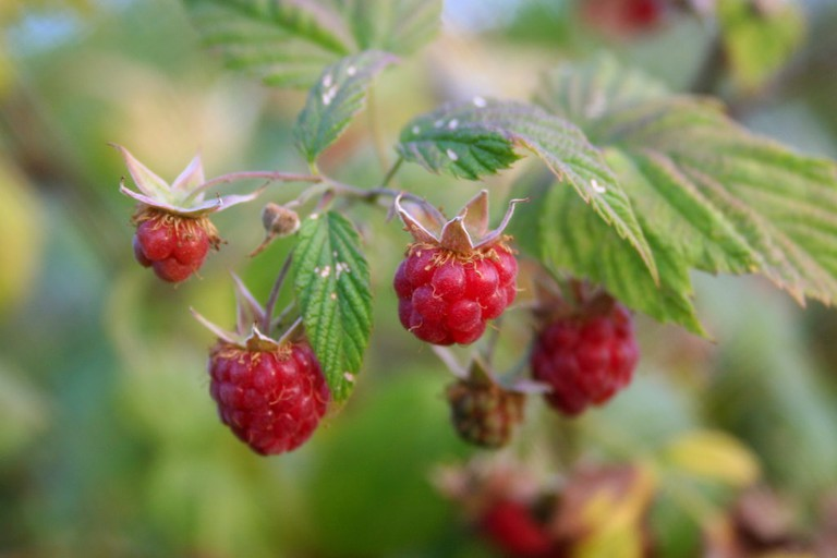 Wild_raspberries_close-up-wv