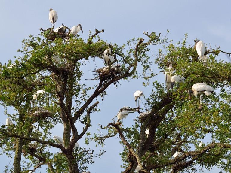 wood-storks-1572904_1920